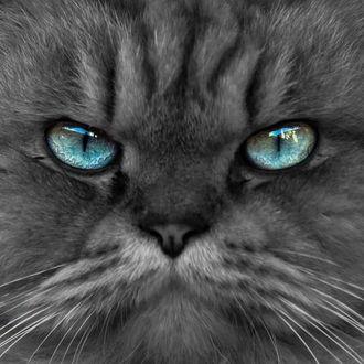 Фото Кот с голубыми глазами, by talha. a. b