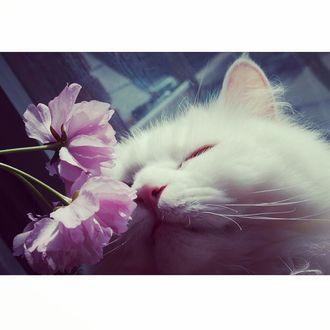 Фото Белая кошка нюхает розовые пионы