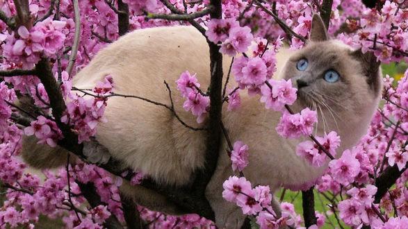 Фото Кошка породы рэгдолл сидит на ветках цветущей сакуры