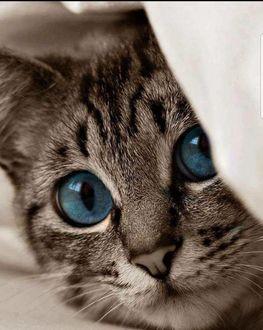 Фото Мордочка голубоглазого серого котенка