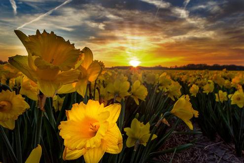 Фото Поле желтых нарциссов на фоне заката, фотограф Peter Dekker