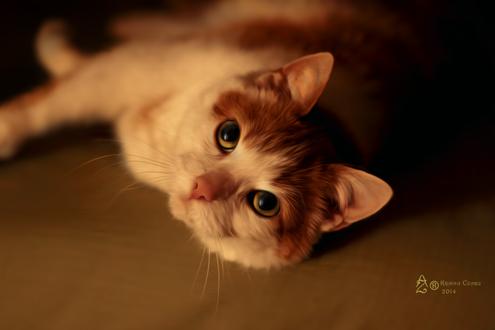 Фото Желтоглазая бело-рыжая кошка лежит на полу, by krainaczaru