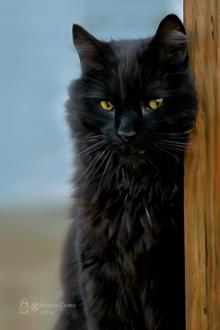 Фото Желтоглазая черная кошка, by krainaczaru