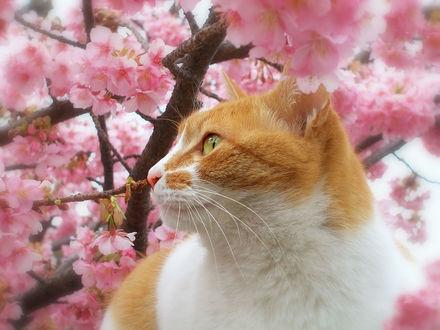 Фото Кошка на фоне весенней сакуры, by tanakawho