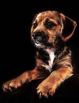 Фото Милый щенок коричневого окраса