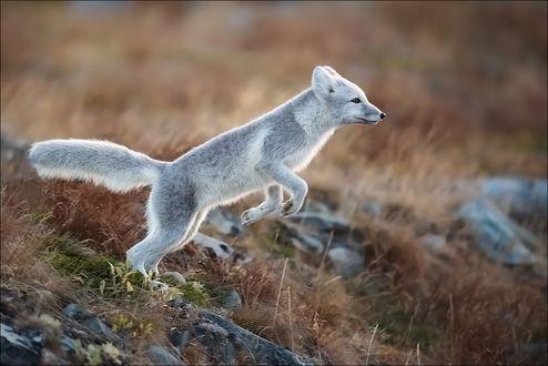 Фото Полярная лиса в прыжке, фотограф Georg Scharf