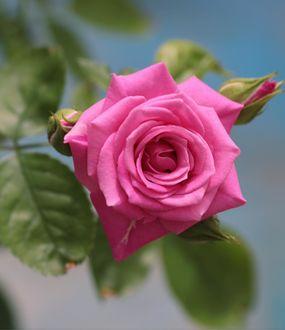 Фото Розовая роза на размытом фоне, by yui9942