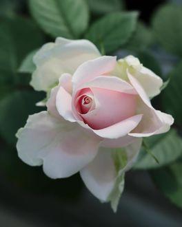 Фото Светлая роза на размытом фоне, by yui9942