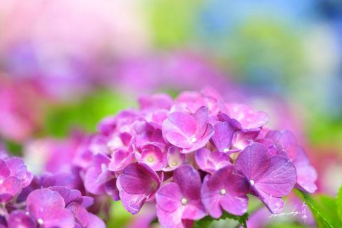 Фото Цветущая розовая гортензия, by Jennifer