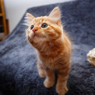 Рыжий котик смотрит в камеру
