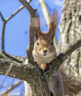 Фото Белка на дереве, фотограф Алексей Малыгин