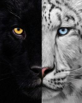 Фото Мордочки пантеры и белого тигра крупным планом, by KomodoEmpire