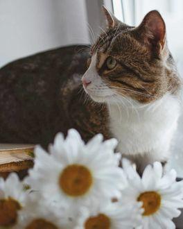 Фото Кошка сидит за ромашками
