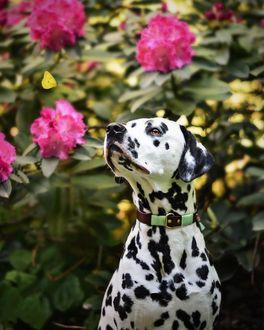 Фото Долматинец на фоне роз