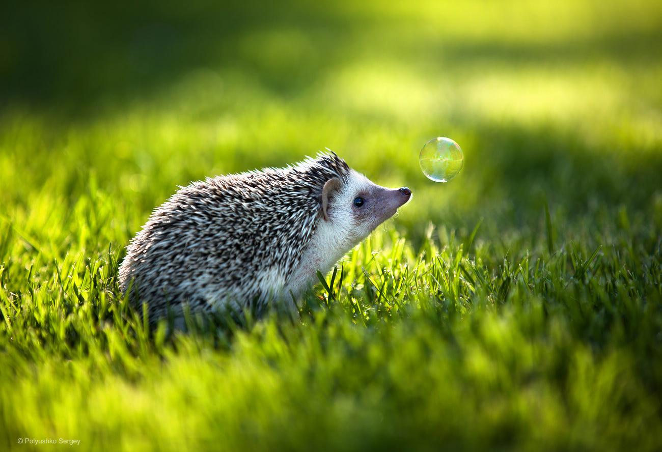 Фото Ежик на зеленой траве перед мыльным пузырем. Фотограф Sergey Polyushko