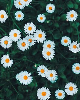 Фото Ромашки на зеленой траве, by _photobylotte
