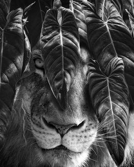 Фото Морда льва за листвой, by Marcel van Luit