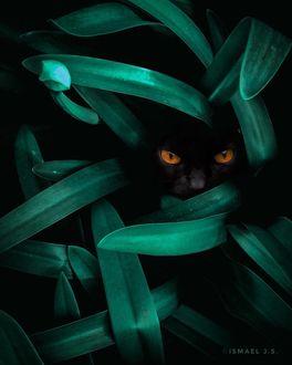 Фото Морда черной кошки за листвой, by Ismael J. S