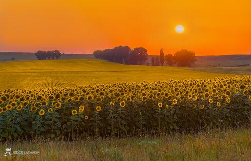 Фото Поле подсолнухов на закате. Фотограф Лашков Федор