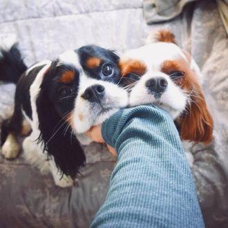 Фото Собаки породы кавалер кинг-чарльз-спаниель и рука хозяина