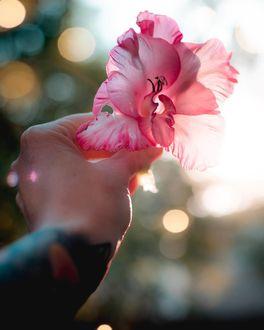 Фото В руке человека гладиолус, by emmyk. photography