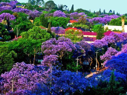 Фото Городской пейзаж с цветущей jacaranda / жакарандой (фиалковое дерево)
