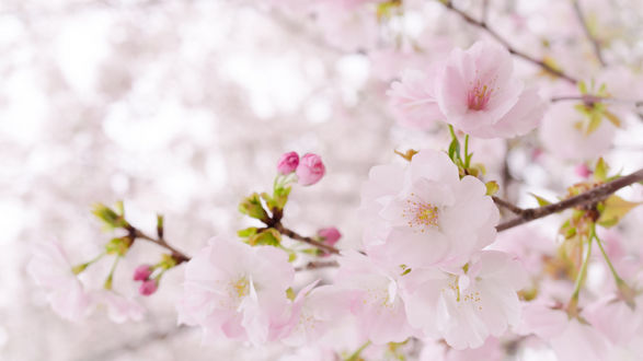 Фото Ветка цветущей сакуры