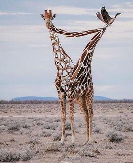 Фото Сюрреалистичное изображение жирафа на фоне пустыни, by Aditya Aryanto