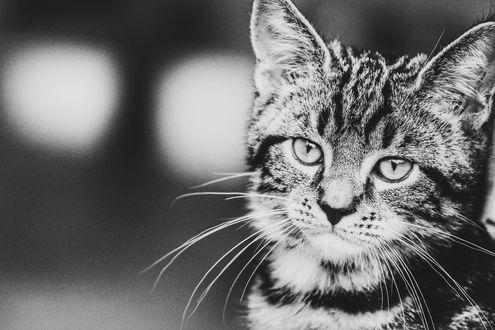 Фото Грустный полосатый кот, by Simba Merch