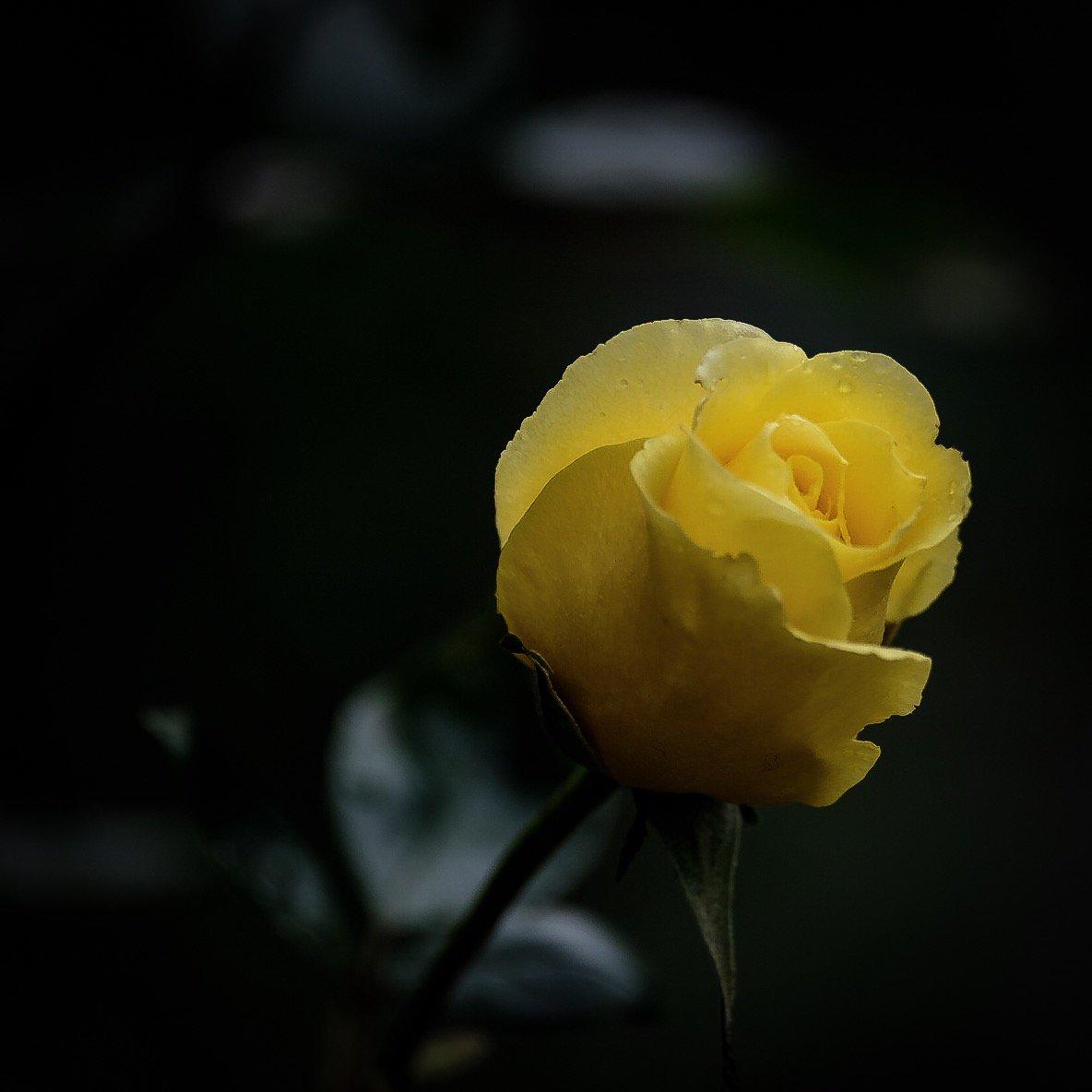 Картинки растоптать желтую розу