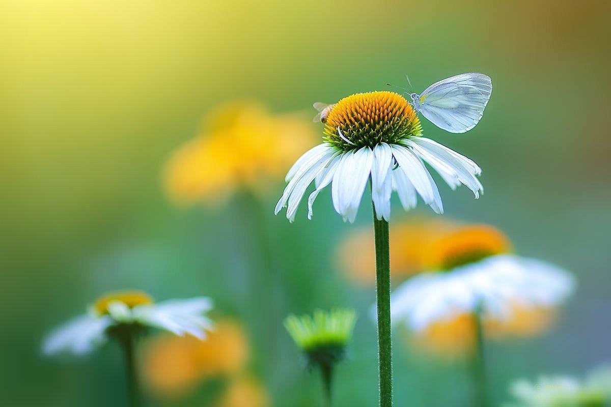 Фото Бабочка на ромашке