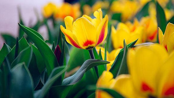 Фото Желтые весенние тюльпаны, фотограф Paola Pelassa