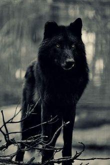 Фото Черный волк, стоя на сером фоне леса, смотрит остекленевшим взглядом