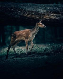 Фото Олень внимательно куда-то смотрит, by Philipp Pilz