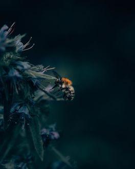 Фото Шмель подлетает к цветам, by Philipp Pilz