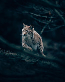 Фото Рысь в лесу, by Philipp Pilz