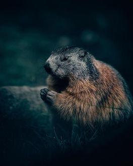 Фото Бобер на размытом фоне, by Philipp Pilz