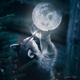 Фото Енот протянул лапы к шару - луне, by sphantasy art