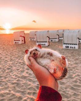 Фото Счастливый ежик лежит в руке на фоне песчаного берега, by hedgehogwin