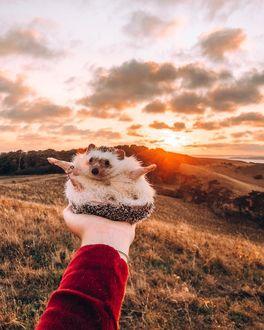 Фото Ежик сидит на руке, расставив лапки в стороны, на фоне заката, by hedgehogwin