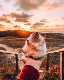 Фото Ежик сидит на руке на фоне заката, by hedgehogwin