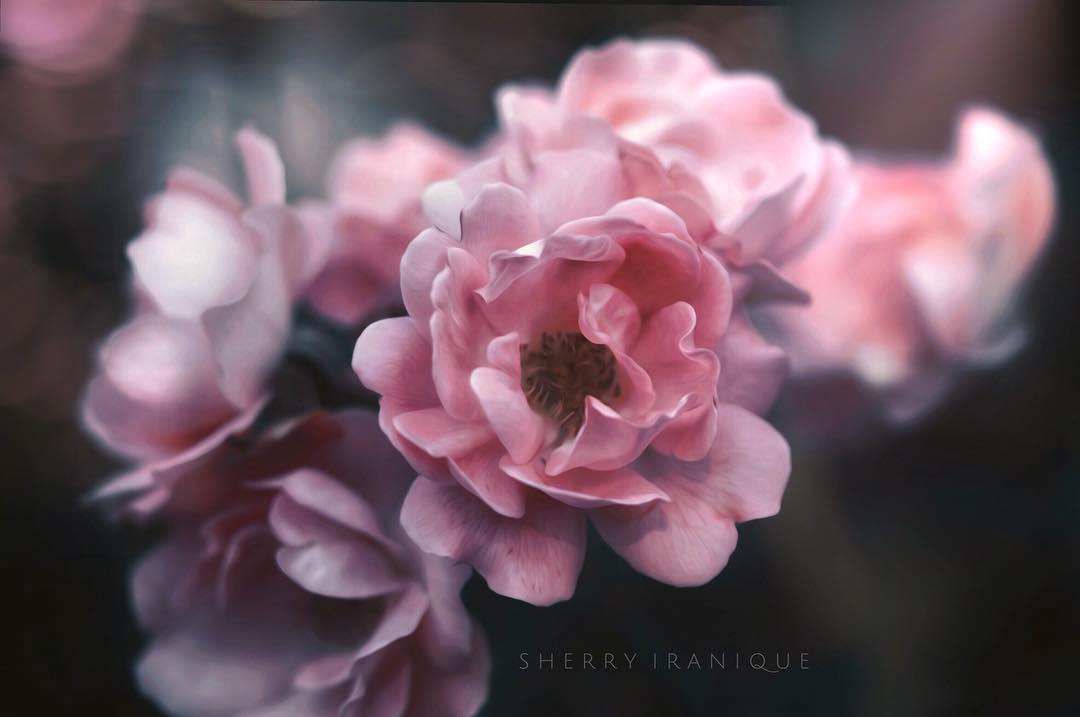 Фото Розовые розы на размытом фоне, by sh. iranique