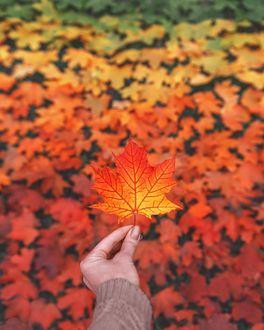 Фото Ярко-красный осенний листик на фоне ковра из осенних листьев, by mazurevanasta