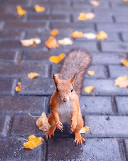 Фото Белка сидит на дороге с осенними листьями, by mazurevanasta