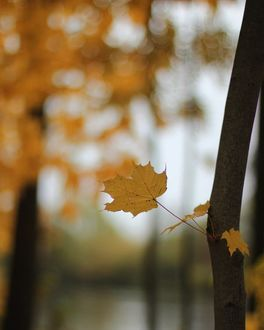 Фото Осенний кленовый листик на дереве, by lena_nezabudochka