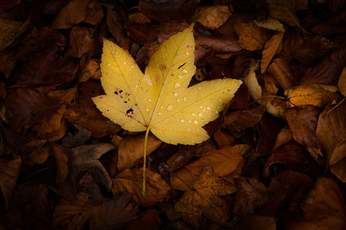 Фото Осенний листок в каплях воды. Фотограф Vincent Favre