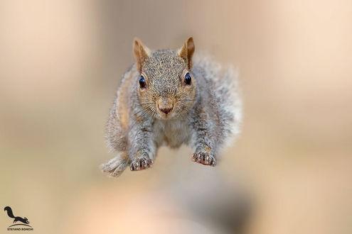Фото Белка в прыжке. Фотограф Stefano Ronchi