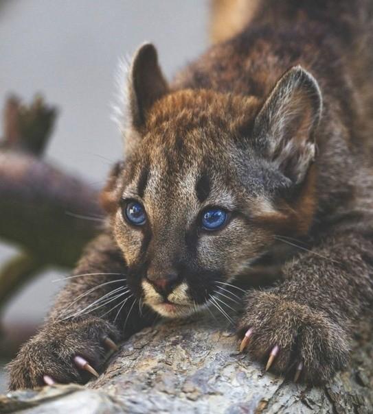Фото Детеныш пумы с синими глазами