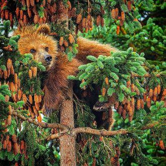 Фото Медведь на еловом дереве с шишками