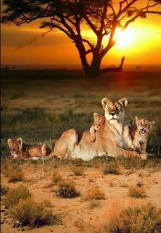 Фото Львиная семейка отдыхает в прерии на закате